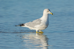 Walk on he 'water' side (ChicagoBob46) Tags: ringbilledgull gull bird fortmyers bunchebeach nature wildlife coth5 naturethroughthelens ngc npc