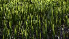 Grüne Flammen, Frühlingstriebe der Sumpf-Schwertlilie (Iris prseudacorus) in einem sumpfigen Waldstück; Haby (2) (Chironius) Tags: schleswigholstein deutschland germany allemagne alemania germania германия niemcy moor sumpf marsh peat bog sump bottoms swamp pantano turbera marais tourbière marécageuse grün gegenlicht asparagales schwertliliengewächse iridaceae schwertlilien iris laub