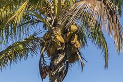 Cacao Fruits (Charlie Lee.) Tags: dole plantation doleplantatoin hawaii oahu 하와이 오아후 돌플랜태이션 농장 unitedstatesofamerica pacificocean cacao fruit