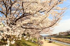 Free time in Kyoto (Teruhide Tomori) Tags: pathway walkingroad kyoto japan japon cherry blossom bloom spring flower sakura kamigamo kamoriver 上賀茂 賀茂川 京都 桜 春 ソメイヨシノ 日本 遊歩道 桜並木