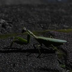 Mantis (theq629) Tags: animal insect mantis taiwan taipei fuyangecopark 富陽自然生態公園