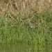 African Snipe - Nairobi NP - Kenya CD5A9994