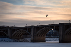 Bald eagle over the Mississippi River, St Paul MN (Lorie Shaull) Tags: mississippiriver stpaul minnesota winter snow baldeagle bird birdwatching haliaeetusleucocephalus birdofprey seaeagle