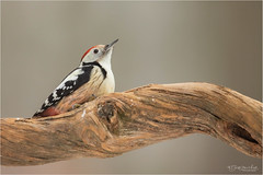 Middle Spotted Woodpecker (Gertj123) Tags: animal avian arjantroost hide holterberg netherlands nature tree wildlife winter canon bokeh bird
