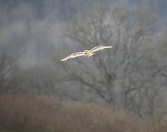 P2110579 (stuart.hall57) Tags: barn barnowl bird flying hunting marshes owl raptor teifi wales