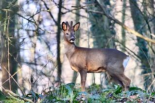 Roe deer in the morning sun
