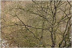 würselen 96 (beauty of all things) Tags: würselen wurmtal wanderwega3 alterbahndamm flora gestrypp gestrüpp scrub winter schnee snow