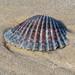 Atlantic Bay Scallop Shell
