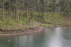 Canoe along the Pactola Shoreline (Sam Wagner Photography) Tags: lake pactola reservoir aluminum canoe hail inclement weather rain curving water shore camping outdoors woods forest south dakota summer green blue midwest america usa landscape