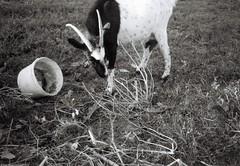 Небезпечна коза / Dangerous goat (Ігор Кириловський) Tags: bw kirilovskiigor kyrylovskyyigor chernivtsi tschernowitz ukraine viewfinder agfaoptima1035sensor agfa solitars40mmf28 film fomapan200creative rodenstock yellowmedium8 fotofond kyiv dangerous goat