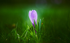 Dreamy Crocus (Dhina A) Tags: sony a7rii ilce7rm2 a7r2 a7r airministry 5inch f4 vv178513 ross xpres f11 militarylens aircraftlens british brass heavy f4tof11 rosslondon manualfocus glowing crocus dreamy spring