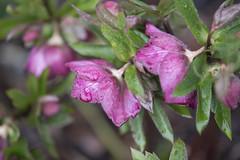 Something old, Something new (woodwindfarm) Tags: flowers rain drops