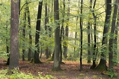 Variety (Netsrak) Tags: baum bäume eu europa europe forst landschaft natur nebel wald fog forest landscape mist nature tree trees woods rheinbach nordrheinwestfalen deutschland de eifel