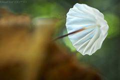 Umbrella mushroom (Marasmius sp.) (pbertner) Tags: rainforest rainforestexpeditions southamerica peru perunature madrededios amazon tambopata tambopataresearchcentre trc mushroom white marasmius