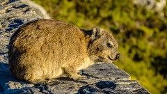 Rock hyrax (bransch.photography) Tags: africa rock sitting natural color sunset cute mammal wildlife outdoor brown rodent tablemountain animal mountain panorama capehyrax wild fur beautiful furry panoramic scenic nature southafrica landscape eye dassie fauna capetown adorable colour dusk lovable sweet