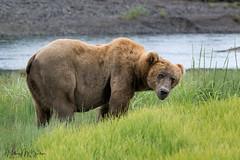 _HB30077 (Hilary Bralove) Tags: lakeclarknationalparkbrownbearsbearsalaskanikonwildlifegrizzlygrizzlybearbrownbearanimalswildlifephotographer alaksa brownbears grizzlybears bear bears grizzly brownbeargrizzly bearlake clarkwildlifealaska wildlifenikonlake clark national park