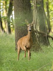 Chevrette curieuse (Richard Holding) Tags: animal chevreuil deer eure m43 nature normandie olympus omd roe wildlife