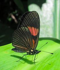 Castilia perilla (hippobosca) Tags: butterfly castiliaperilla nymphalidae peru insect lepidoptera macro