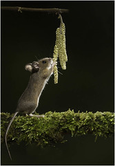 Wild wood mouse feeding on catkins (Charles Connor) Tags: woodmice mouse rodents wildlifephotography wildlife wild naturephotography nature light backlit backlighting moss canondslr canon5d3