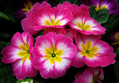 Primrose (arbyreed) Tags: arbyreed primrose red pink close closeup plant greenplant primulapolyantha springflowers