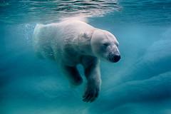Today is... (ucumari photography) Tags: ucumariphotography polarbear ursusmaritimus oso bear animal mammal nc north carolina zoo osopolar ourspolaire oursblanc eisbär ísbjörn orsopolare полярныймедведь anana underwater blue water swimming february 2019 dsc7820 specanimal specanimalphotooftheday