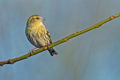Siskin (drbut) Tags: siskin carduelisspinus finches avian bird birds trees farmland wildlife nature canonef500f4lisusm