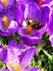Bee Crocus Meanwood Park Feb 2019 (oneofmanybills) Tags: bee crocus meanwood thehollies pollen leeds purple spring colour flowers