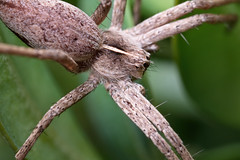 IMG_7929  Nursery-web spider, close-up (davidh-j) Tags: canon macro nature arthropods araneae