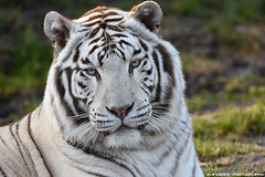 Bengal white tiger - Zoo parc overloon (Mandenno photography) Tags: animal animals dierenpark dierentuin dieren overloon zoo parc zooparc ngc nature nederland netherlands natgeo natgeographic tiger tijger tigers tijgers bengal bengaalse bigcat big cat cats