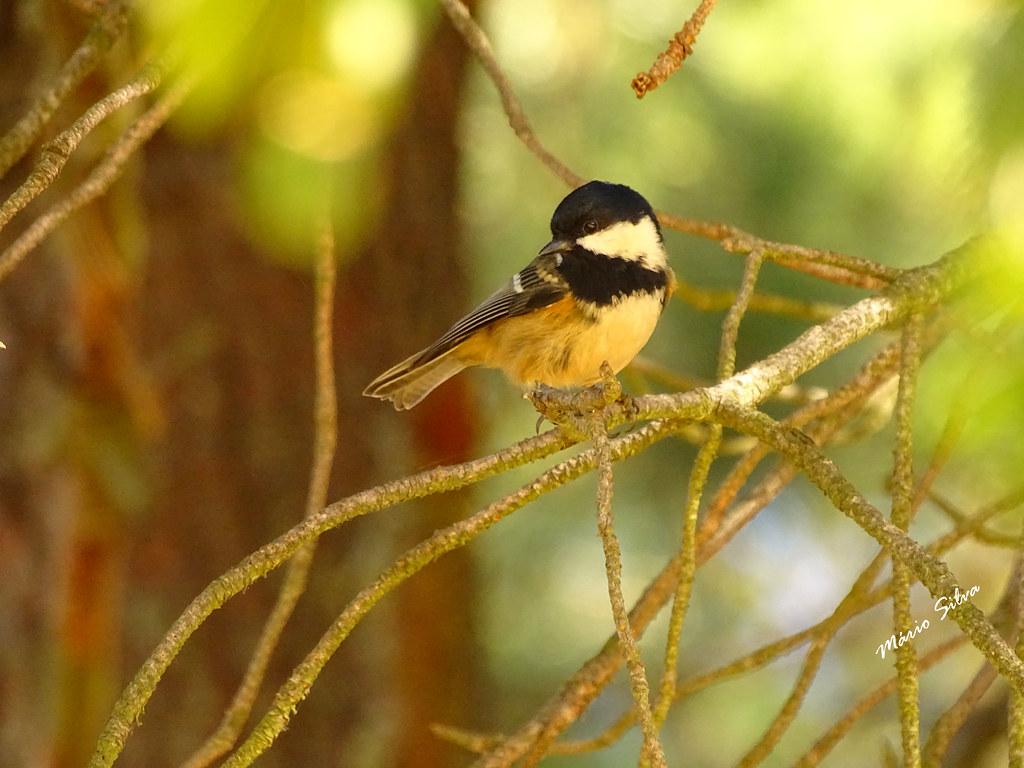 Águas Frias (Chaves) - ...ave colorida - Chapim-carvoeiro (Periparus ater) ...
