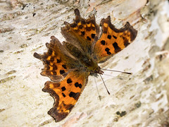Early Comma Butterfly (Maria-H) Tags: comma butterfly polygoniacalbum rspb conwy wales uk olympus omdem1markii panasonic 100400