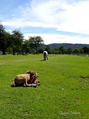 La siesta (Chema Jiménez53) Tags: animal pasto caballo pradera