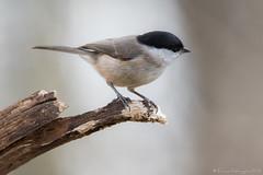 Mésange nonnette (DorianHunt) Tags: marshtit birds bokeh switzerland march 2019 sigma 150600mm nikond500