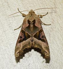 ANGLE SHADES (11birdman11) Tags: moths mammals britishbirds birds butterflies bugs