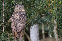 European Eagle Owl (TyAviationImages.co.uk) Tags: european eagle owl