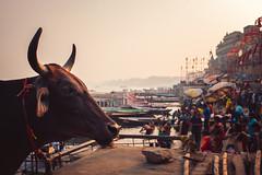 Ghats Cow Dusk (*trevor) Tags: 2019 cow fujifilmx ghats india streetcow varanasi x100f dusk sunset