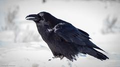 Common Raven - Yellowstone (petechar) Tags: charlesrpeterson petechar animal wildlife bird commonraven towerjunction yellowstonenationalpark wyoming aves passeriformes corvidae corvuscorax panasonic14140mm panasonicgx8 winter