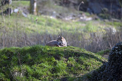 Luchs (Michael Döring) Tags: gelsenkirchen bismarck zoomerlebniswelt zoo luchs lynx afs200mm20gvrii d850 michaeldöring