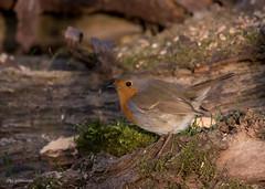 Little Robin (wernerlohmanns) Tags: sperlingsvögel singvögel sigma150600c schärfentiefe d750 nikond750 rotkehlchen robin wildlife outdoor natur nabu