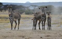 Zebras 1 (orientalizing) Tags: wild featured grevyszebra shabareserve desktop landscape kenya mammals samburuterritories