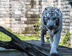 Eyes of the tiger (BenoitGEETS-Photography) Tags: pairidaiza tigre tiger oeil yeux eye blanc albinos white nikon nikonpassion d610 2470 tamron albino regard