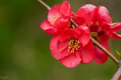 Flowering Quince (Chaenomeles speciosa) (takapata) Tags: sony sel90m28g ilce7m2 macro nature flower