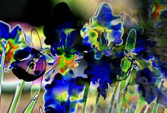 BlueBlume (lotharmeyer) Tags: design art moderne colors farben abstrakt style extrem bunt impressionen blume fotobearbeitung blue