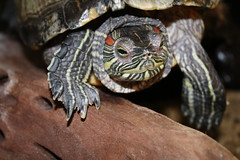 Turtle  greetings (excellentzebu1050) Tags: turtle emydidae coth5 sunrays5