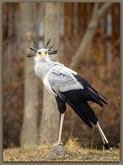 Secretary Bird (ctofcsco) Tags: 1320 1d 1dmark4 1dmarkiv 1div 200mm canon colorado didnotfire digital ef200mmf2lisusm eos eos1d eos1dmarkiv esplora 2017 animal bokeh denver denverzoo explore explored geo:lat=3975024770 geo:lon=10494968870 geotagged nature northamerica picture statecapitol vinestreethouses wildlife wwwdenverzooorg zoo f25 flashoff iso100 mark4 markiv partial photo pic pretty renown shutterspeedpriorityae supertelephoto telephoto unitedstates usa