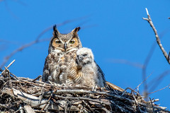 Great Horned Owl with Chick (dbadair) Tags: outdoor nature wildlife 7dm2 canon florida bird ftdesoto ft raptor owl nest