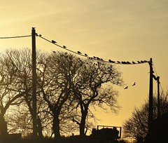 Silhouetted Sunset - Zeke Filter - Cresswell Farm (Gilli8888) Tags: cresswell cresswellponds northumberland northeast countryside nikon p900 coolpix sunset farm silhouette silhouettephotography telegraphpole birds trees