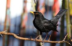 Male Blackbird. (Chris Kilpatrick) Tags: chris canon canon7dmk2 sigma150mm600mm sigma outdoor wildlife nature animal bird douglas isleofman blackbird springwatch february male