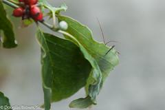 Guess Who? (dglsbrwnsr) Tags: assassin bug crawl crawling creeping dogwood insect leaf missouri wheelbug