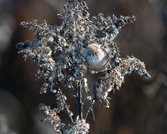 Bushtit (Shore Birder) Tags: bushtit delta boundarybay britishcolumbia vancouver canada psaltriparusminimus